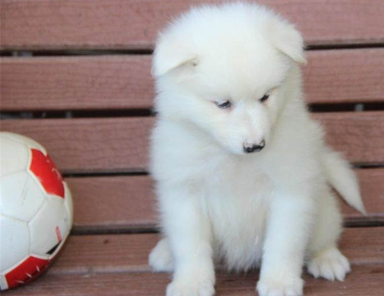 Samoyed puppies for sale, .. Good blood line, bones and posture..