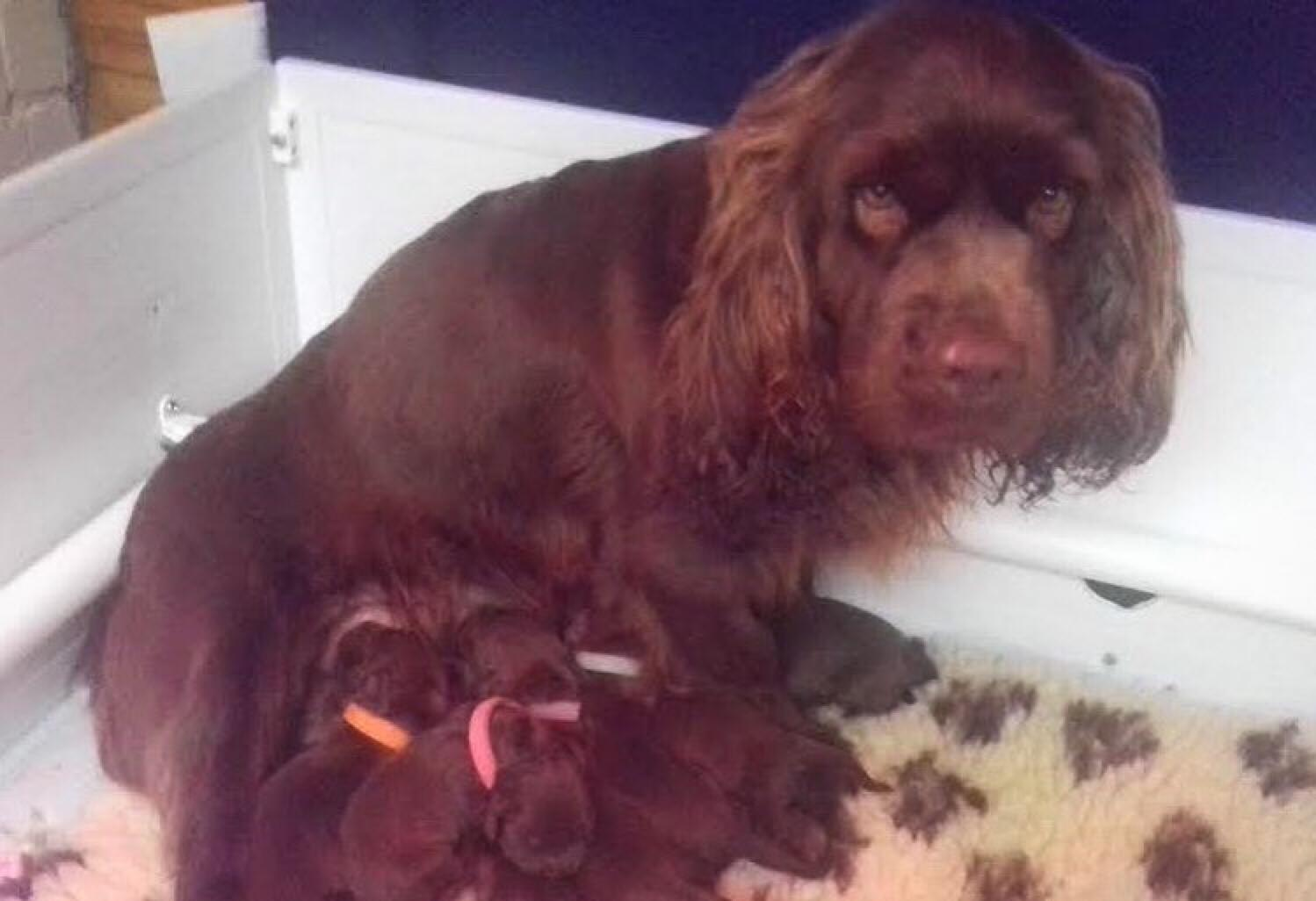 Cute & Companionable  Sussex Spaniel Girls & Boys. (Nov2020)